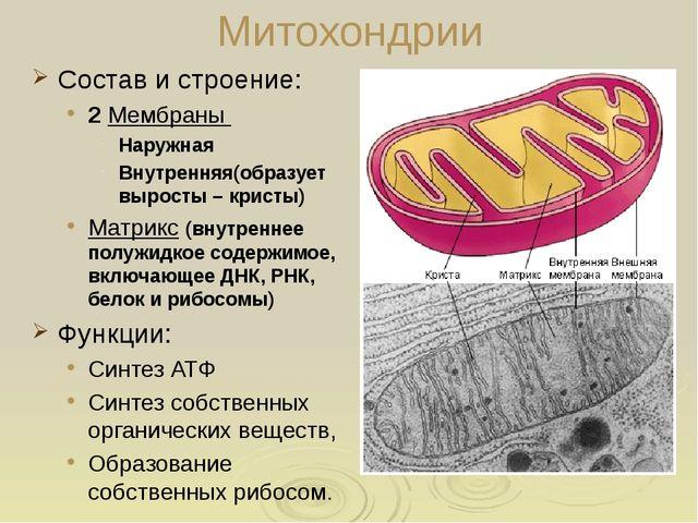 Вакуоли: строение Крупные характерны для растительных клеток; Мешочки заполне...