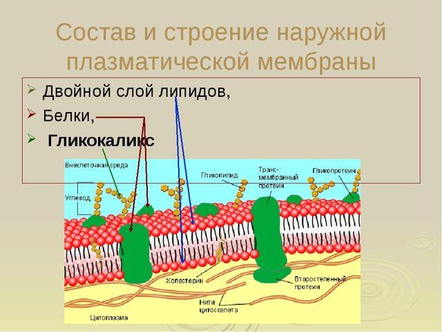 Состав и строение наружной плазматической мембраны Двойной слой липидов, Белк...