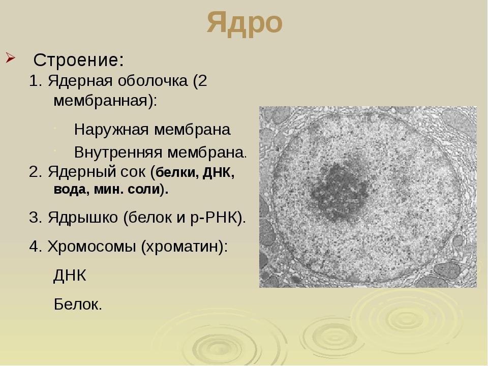 Ядро Строение: 1. Ядерная оболочка (2 мембранная): Наружная мембрана Внутренн...