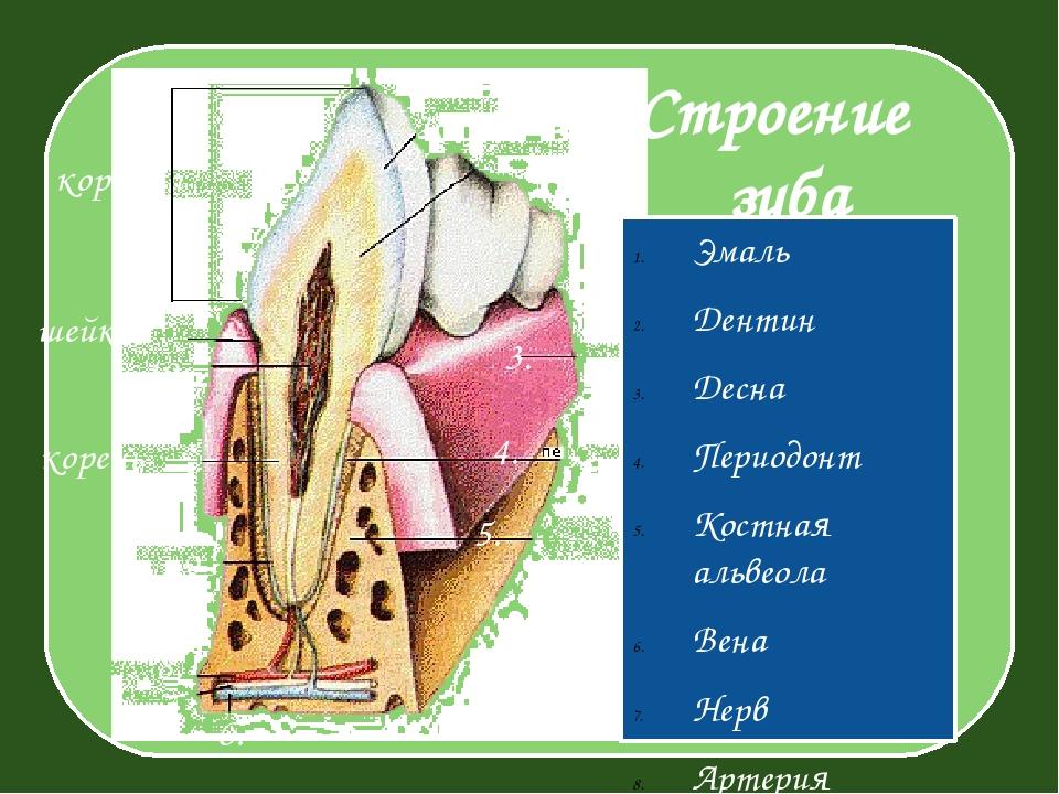 Строение зуба Эмаль Дентин Десна Периодонт Костная альвеола Вена Нерв Артери...