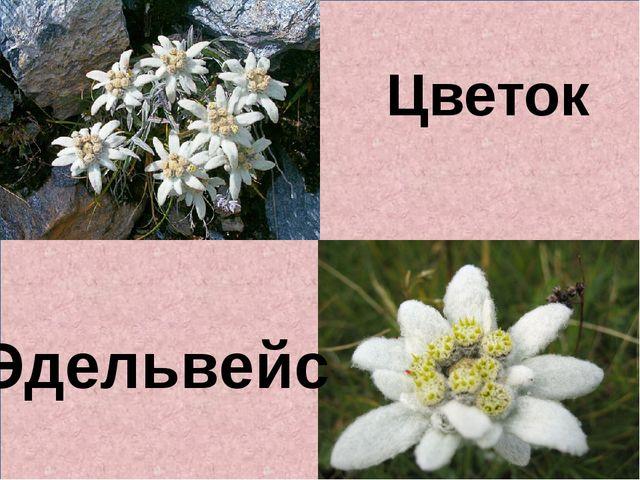 Цветок Эдельвейс