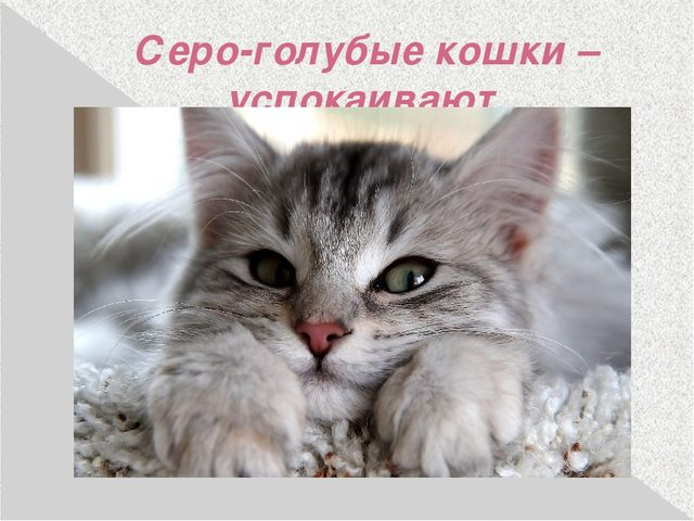 Серо-голубые кошки – успокаивают.