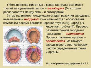 У большинства животных в конце гаструлы возникает третий зародышевый листок