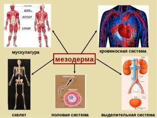 мезодерма мускулатура кровеносная система скелет выделительная система полова