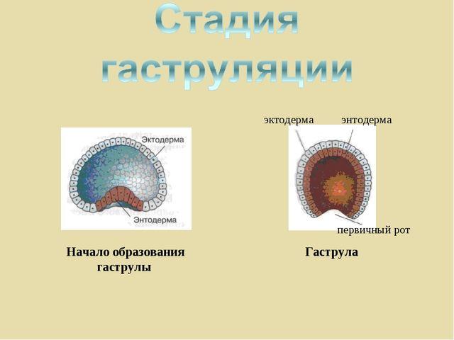 Начало образования гаструлы Гаструла эктодерма энтодерма первичный рот