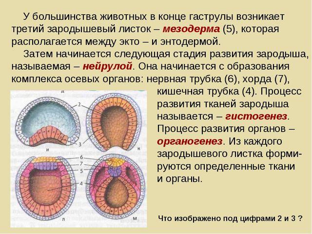 У большинства животных в конце гаструлы возникает третий зародышевый листок...