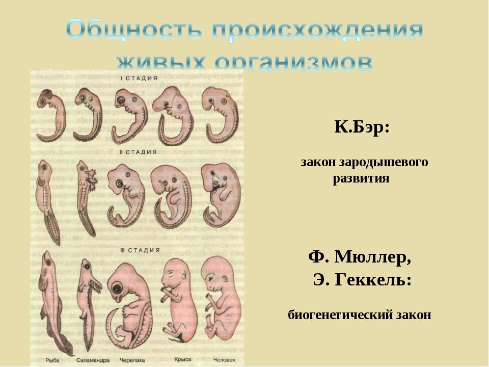 К.Бэр: закон зародышевого развития Ф. Мюллер, Э. Геккель: биогенетический закон