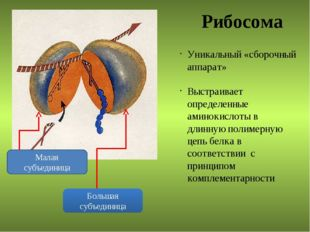 Рибосома Малая субъединица Большая субъединица Уникальный «сборочный аппарат»
