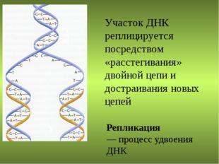Участок ДНК реплицируется посредством «расстегивания» двойной цепи и достраив
