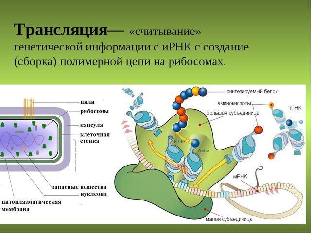 Трансляция— «считывание» генетической информации с иРНК с создание (сборка) п...