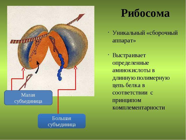 Рибосома Малая субъединица Большая субъединица Уникальный «сборочный аппарат»...