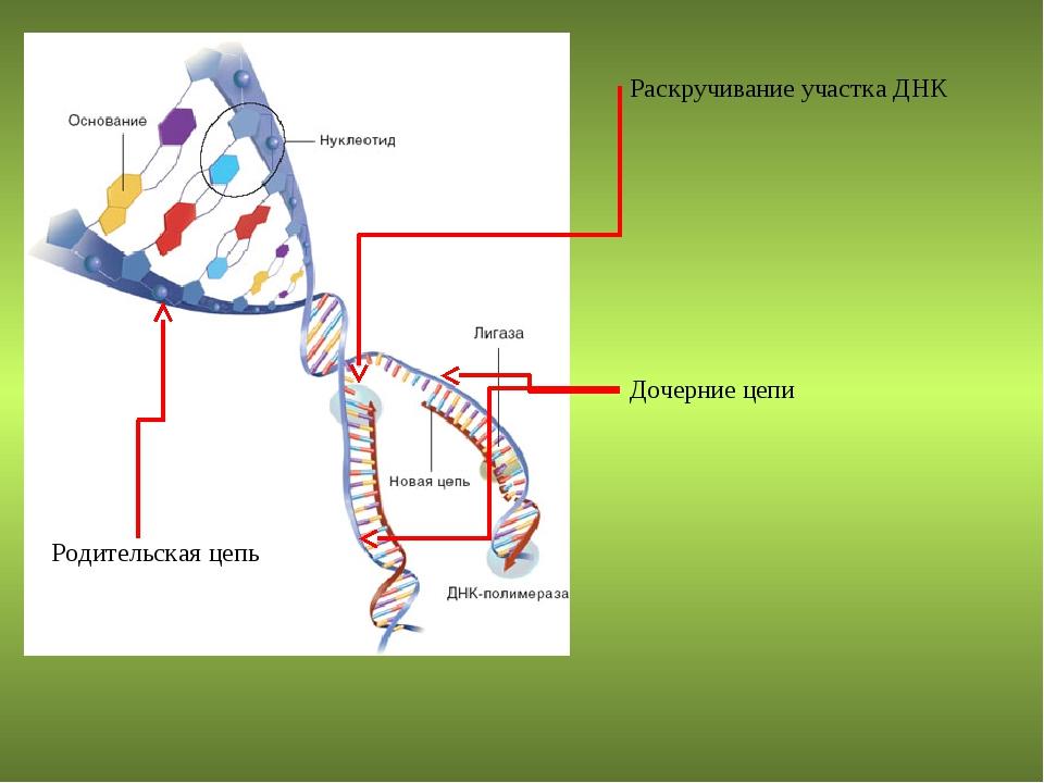 Раскручивание участка ДНК Родительская цепь Дочерние цепи
