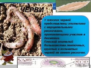 У плоских червей представлены эпителием с мерцательными ресничками, принимающ