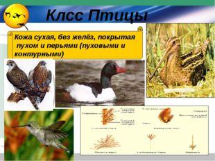 Кожа сухая, без желёз, покрытая пухом и перьями (пуховыми и контурными) Клсс