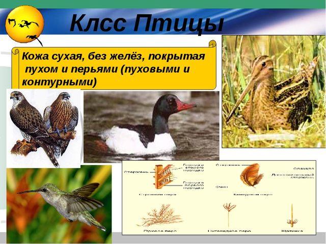 Кожа сухая, без желёз, покрытая пухом и перьями (пуховыми и контурными) Клсс...