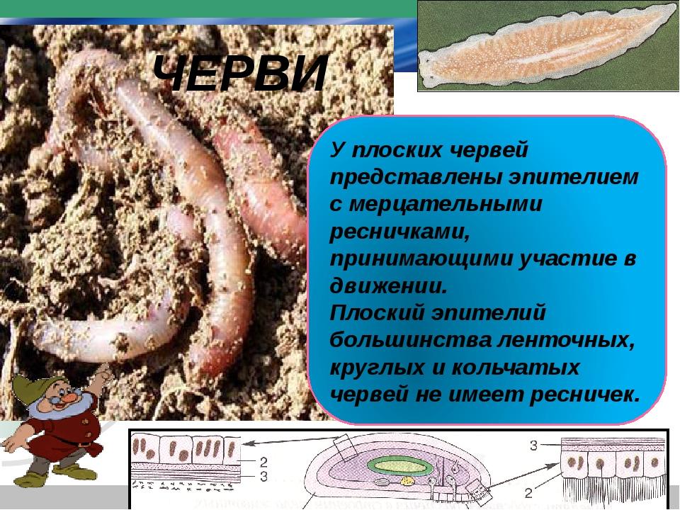 У плоских червей представлены эпителием с мерцательными ресничками, принимающ...