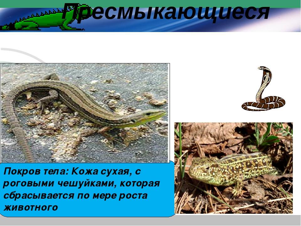 Покров тела: Кожа сухая, с роговыми чешуйками, которая сбрасывается по мере р...