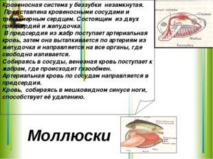 Кровеносная система у беззубки незамкнутая. Представлена кровеносными сосудам
