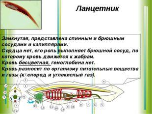 Ланцетник Замкнутая, представлена спинным и брюшным сосудами и капиллярами.