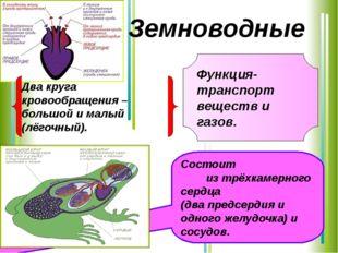 Функция-транспорт веществ и газов. Состоит из трёхкамерного сердца (два предс