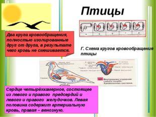 Сердце четырёхкамерное, состоящее из левого и правого предсердий и левого и п