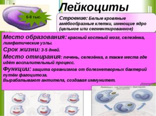 Строение: Белые кровяные амёбообразные клетки, имеющие ядро (цельное или сегм