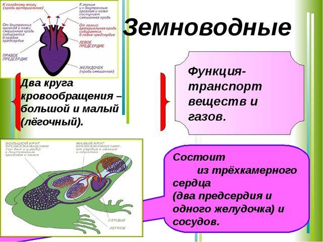 Функция-транспорт веществ и газов. Состоит из трёхкамерного сердца (два предс...