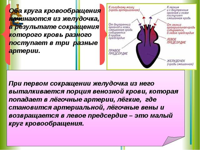 При первом сокращении желудочка из него выталкивается порция венозной крови,...