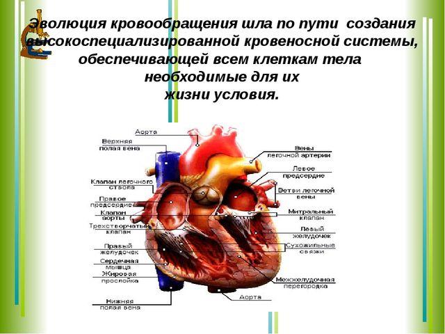 Эволюция кровообращения шла по пути создания высокоспециализированной кровено...