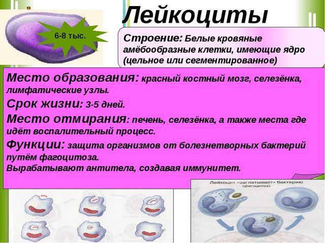 Строение: Белые кровяные амёбообразные клетки, имеющие ядро (цельное или сегм...