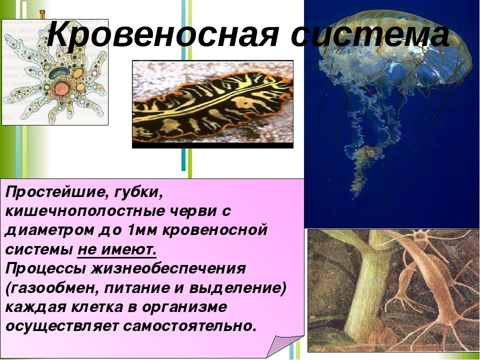 Простейшие, губки, кишечнополостные черви с диаметром до 1мм кровеносной сист...