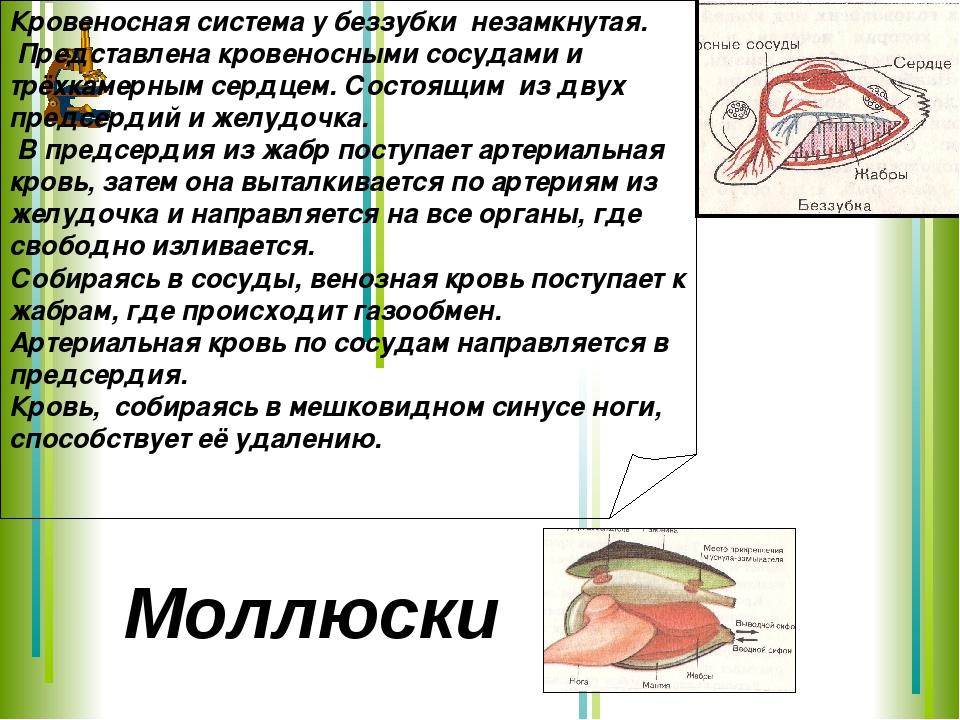 Кровеносная система у беззубки незамкнутая. Представлена кровеносными сосудам...