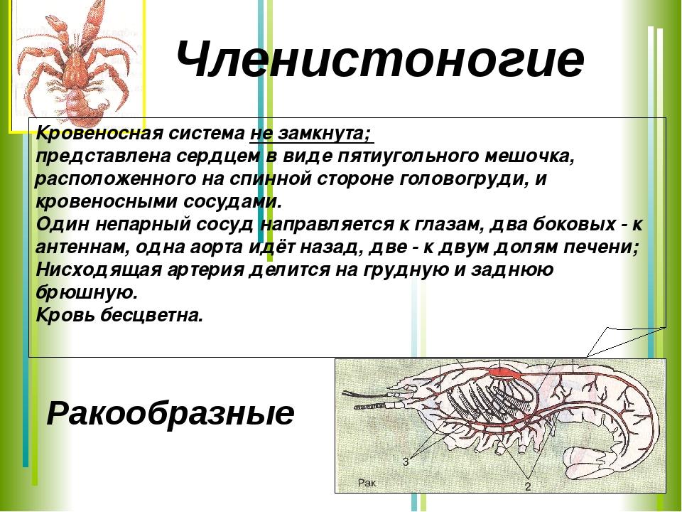 Ракообразные Кровеносная система не замкнута; представлена сердцем в виде пят...