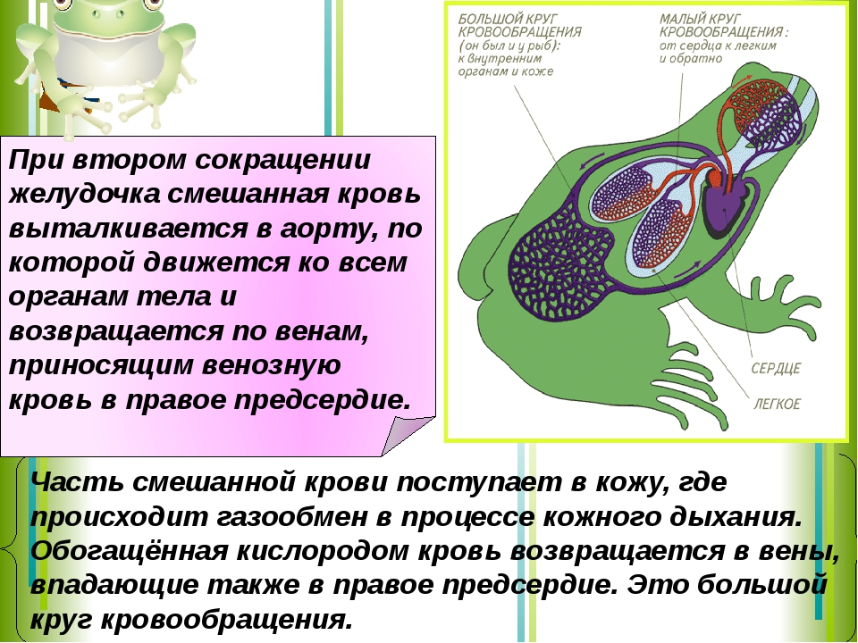 Часть смешанной крови поступает в кожу, где происходит газообмен в процессе к...