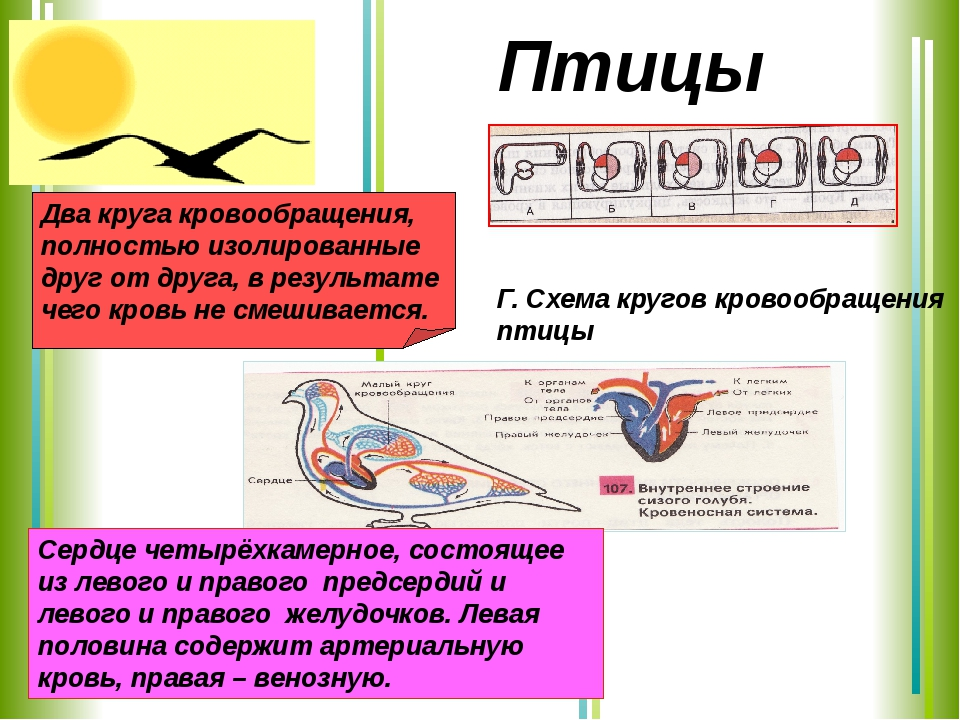 Сердце четырёхкамерное, состоящее из левого и правого предсердий и левого и п...