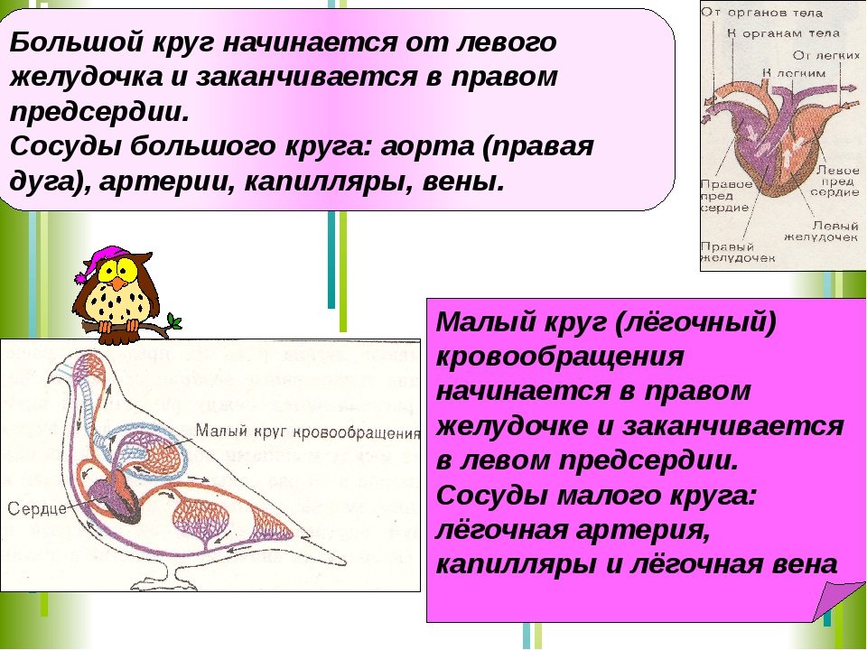 Большой круг начинается от левого желудочка и заканчивается в правом предсерд...
