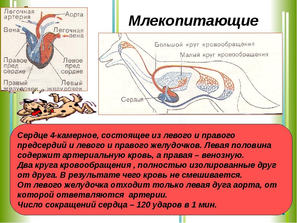 Сердце 4-камерное, состоящее из левого и правого предсердий и левого и правог...