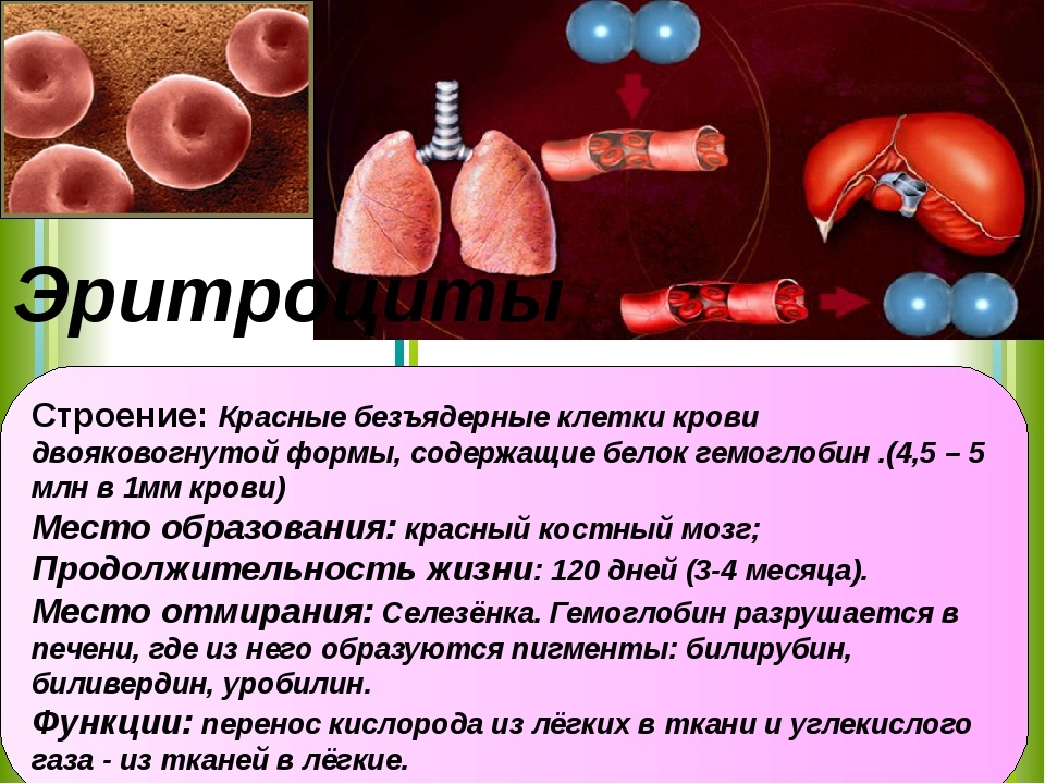 Строение: Красные безъядерные клетки крови двояковогнутой формы, содержащие б...