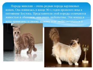 Порода минскин – очень редкая порода карликовых кошек. Она появилась в конце