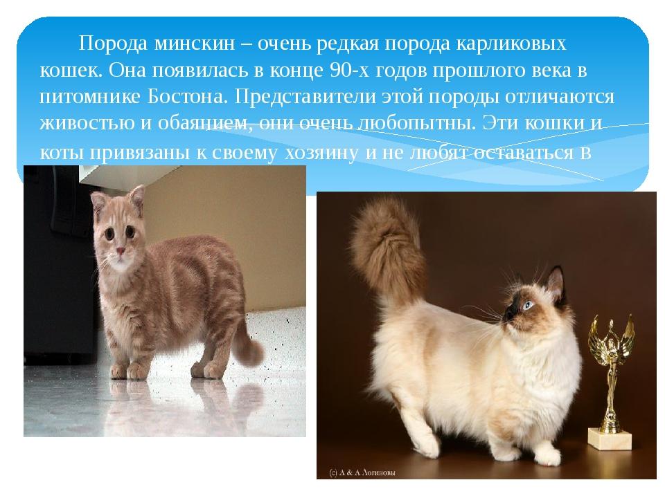 Порода минскин – очень редкая порода карликовых кошек. Она появилась в конце...