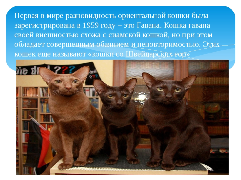 Первая в мире разновидность ориентальной кошки была зарегистрирована в 1959 г...