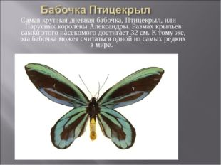 Самая крупная дневная бабочка, Птицекрыл, или Парусник королевы Александры. Р