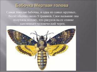 Самая тяжелая бабочка, и одна из самых крупных. Весит обычно около 9 граммов.