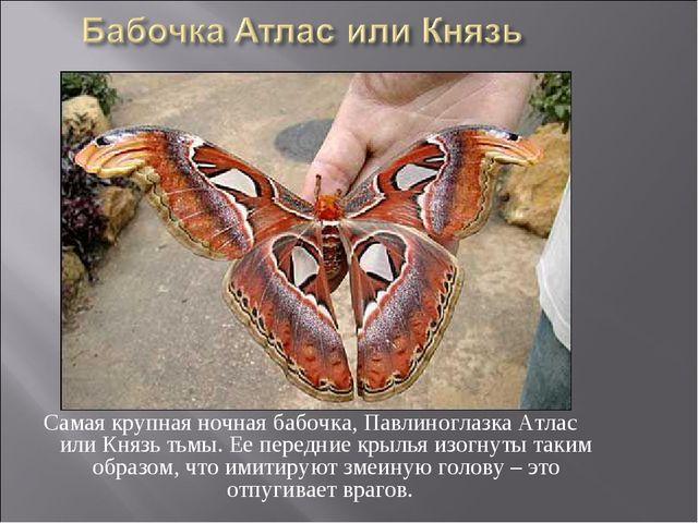 Самая крупная ночная бабочка, Павлиноглазка Атлас или Князь тьмы. Ее передние...