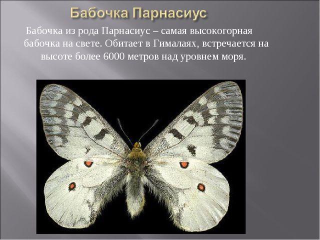 Бабочка из рода Парнасиус – самая высокогорная бабочка на свете. Обитает в Ги...