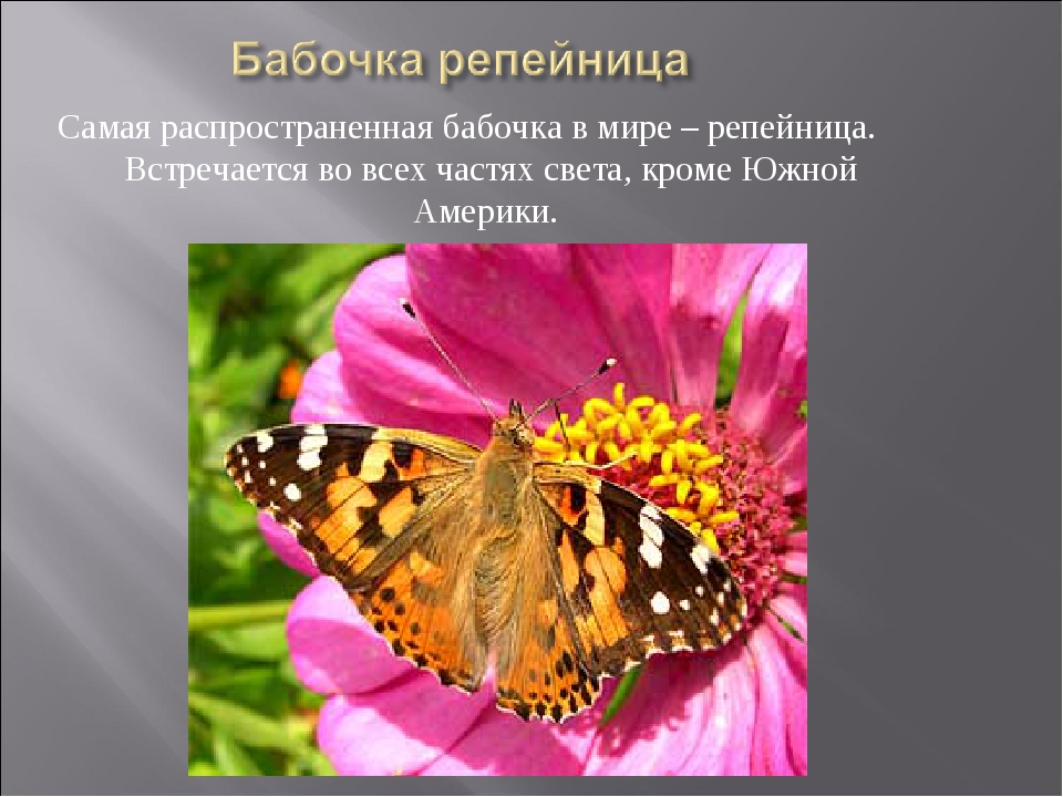 Самая распространенная бабочка в мире – репейница. Встречается во всех частях...