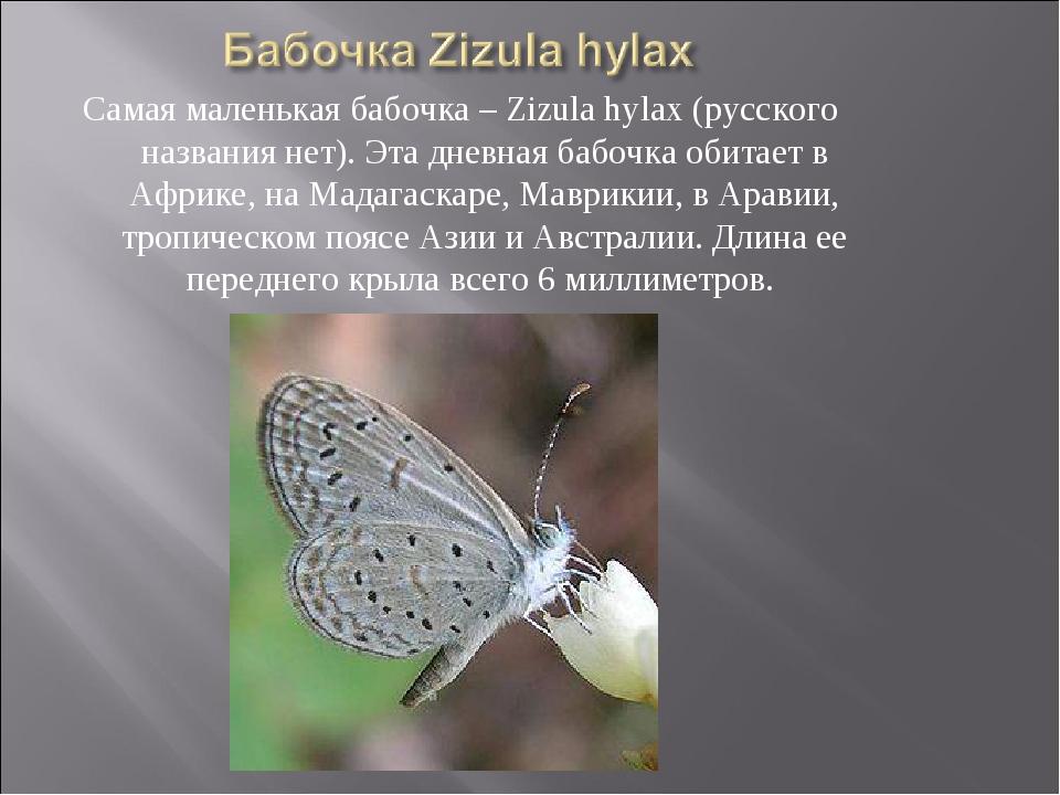 Самая маленькая бабочка – Zizula hylax (русского названия нет). Эта дневная б...