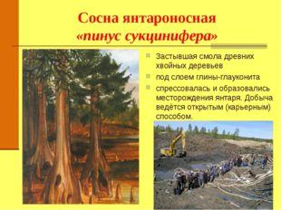 Сосна янтароносная «пинус сукцинифера» Застывшая смола древних хвойных деревь