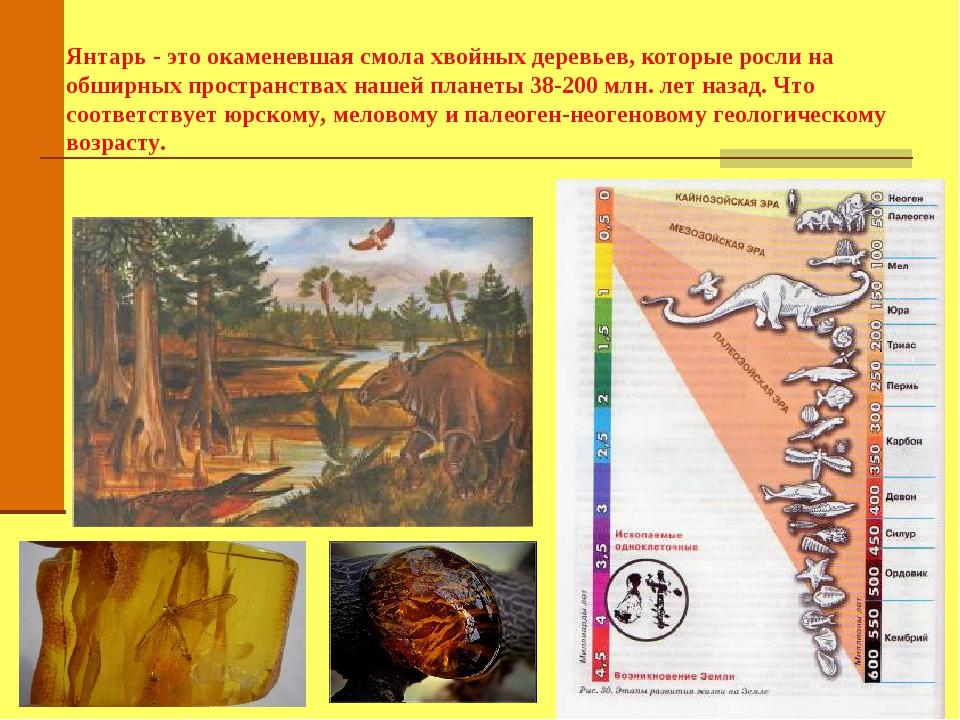Янтарь - это окаменевшая смола хвойных деревьев, которые росли на обширных п...