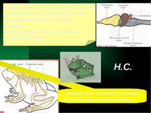 Головной мозг состоит из пяти отделов: передний мозг (разделённый на два полу